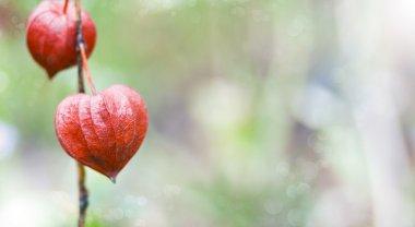 Bokeh nature background - inflorescence Physalis(Chinese Lantern)