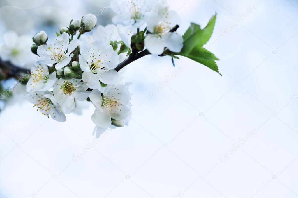 Nature. Closeup Branch of Apple Tree White Flower. Springtime Background