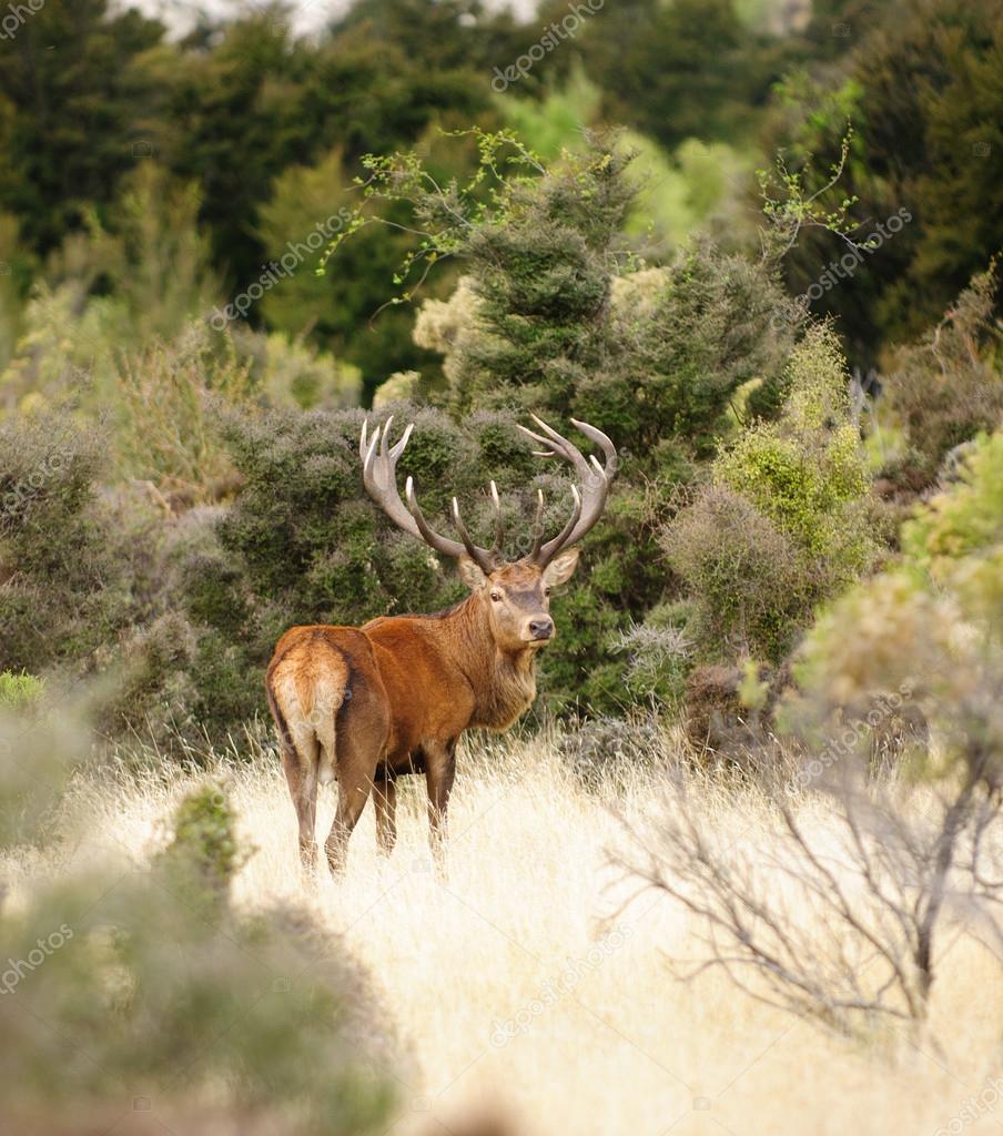 Red deer in New Zealand