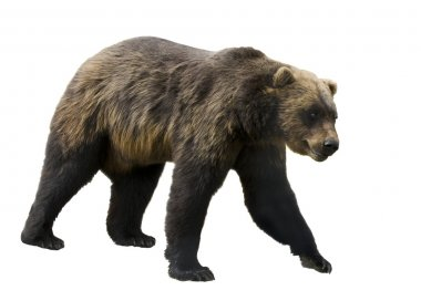 Grizzly bear on a white background