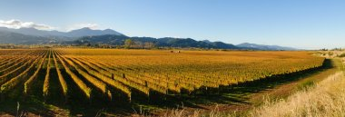 Panoramic view of the vineyards in the Marlborough district