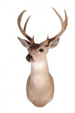 Whitetail head mount