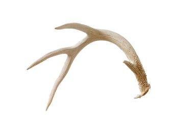 Shed antler