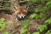 liška v lese