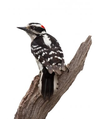 Grizzled Woodpecker