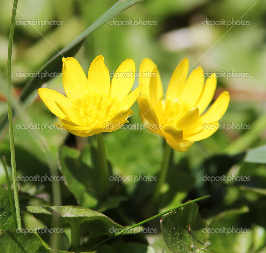 Fleurs Jaunes Dans Le Gazon Les Aconit D Hiver Ou Les Eranthis