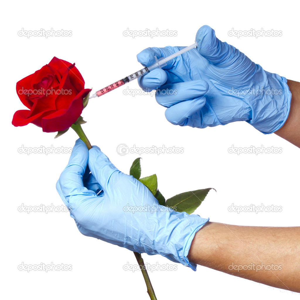 Injection into red rose isolated on white background. Genetically modified flower and syringe in his hands with blue gloves. Concept