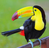 Photo Colored Toucan. Keel Billed Toucan, from Central America.