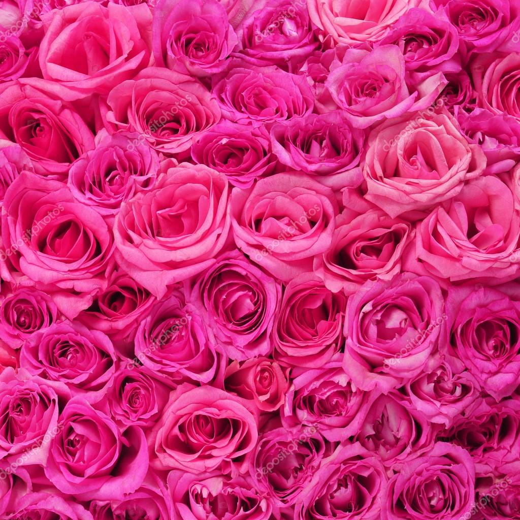 Pink roses background stock photos royalty free pink roses hot pink roses background stock photo mightylinksfo