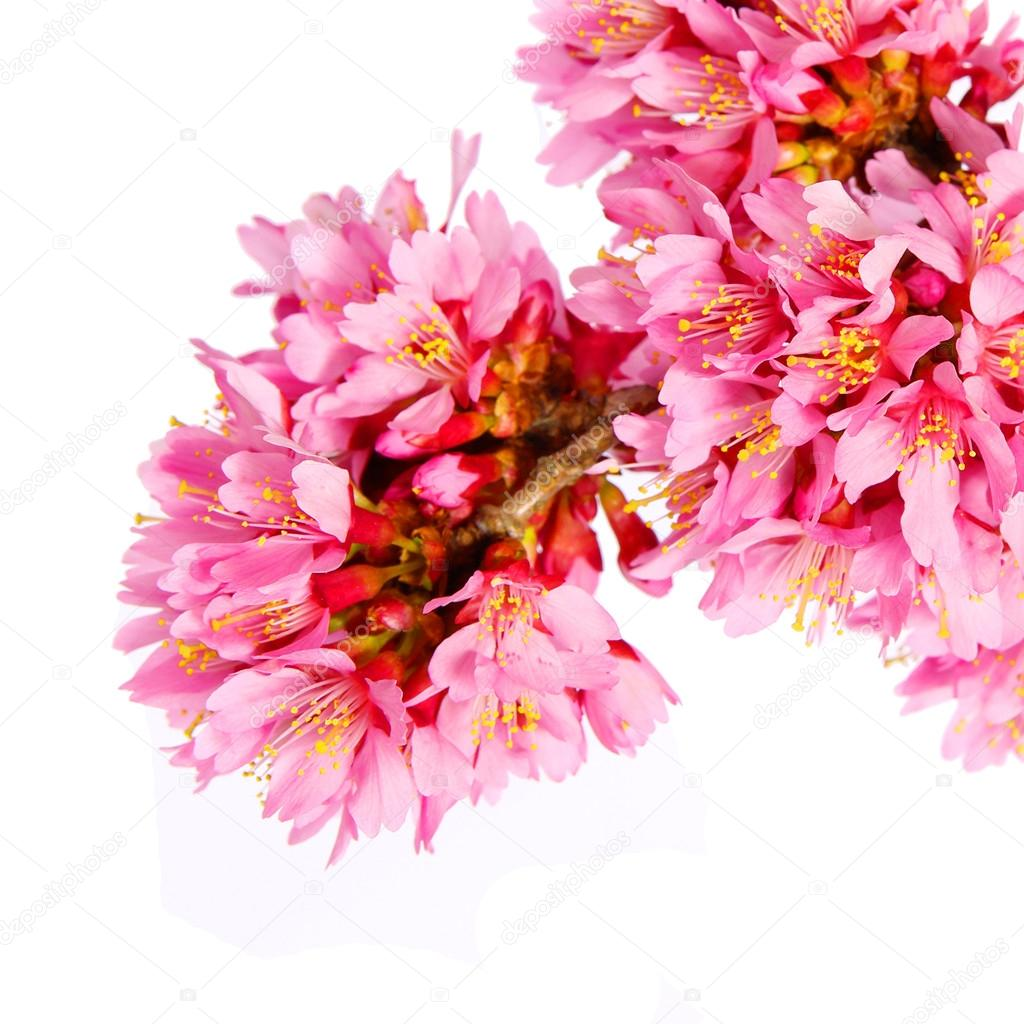 sakura isolated on white. cherry blossom. branch of beautiful pi