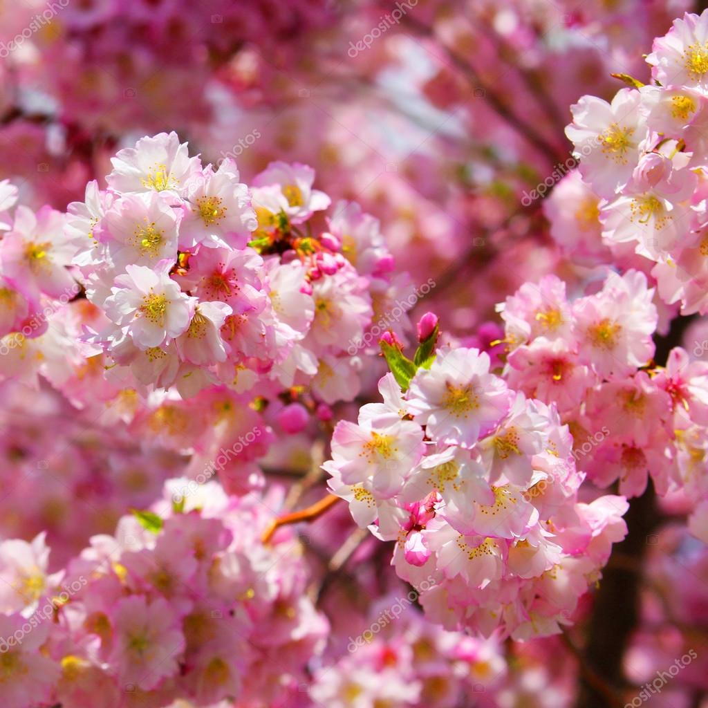 Sakura. Cherry Blossom in Springtime, Beautiful Pink Flowers