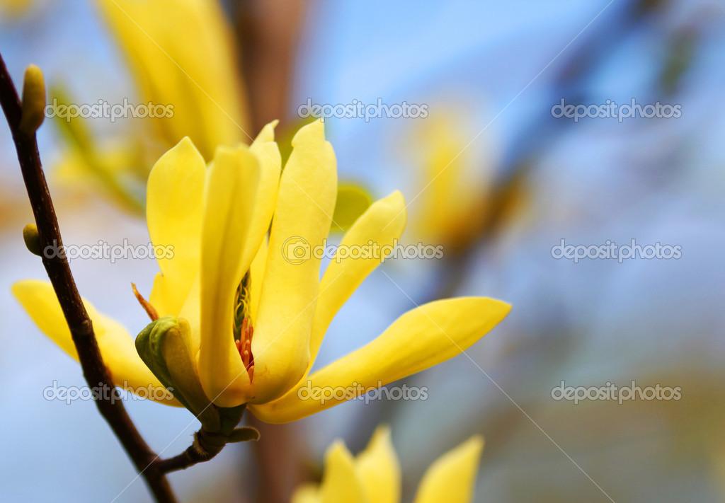 gelbe magnolie baum bl ht im fr hling stockfoto guzel 43344399. Black Bedroom Furniture Sets. Home Design Ideas