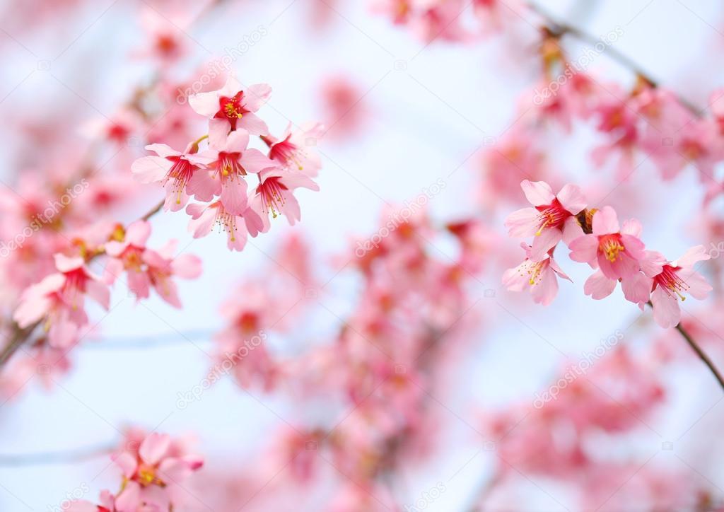 Cherry Blossom. Sakura in Springtime. Beautiful Pink Flowers