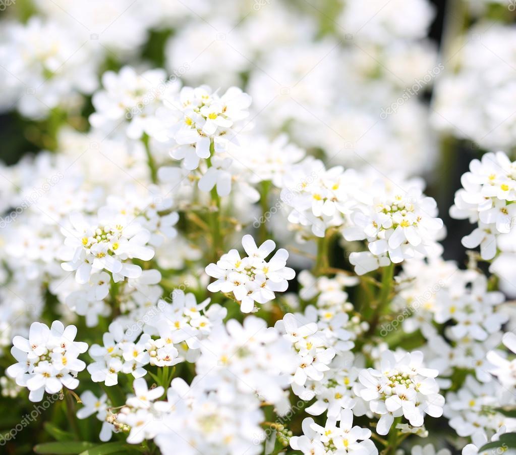 Purity Candytuft White Tiny Flowers Background Stock Photo