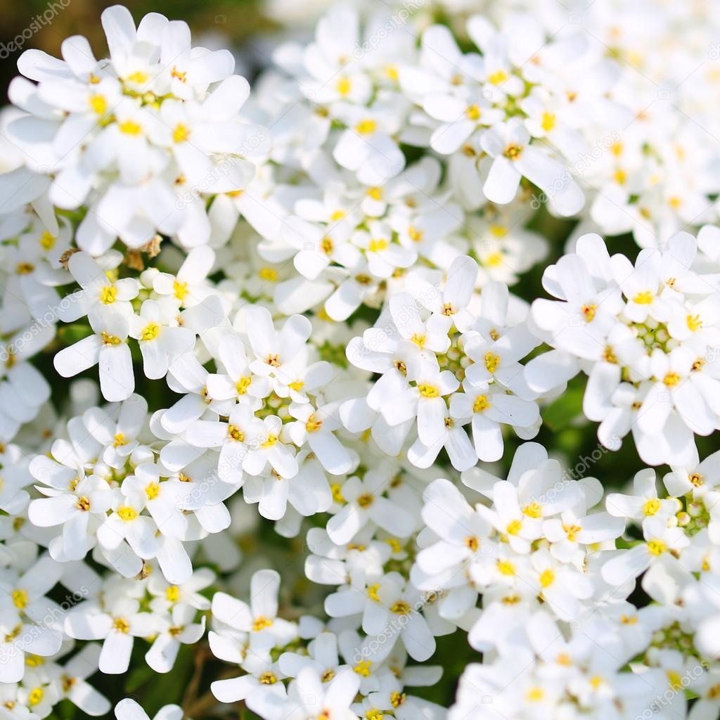 Purity Candytuft White Tiny Flowers Background Stock Photo