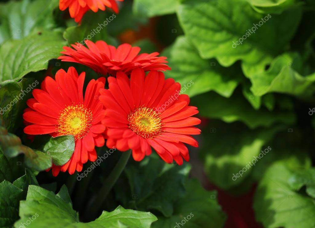 gerbera daisy rode bloemen in de tuin stockfoto guzel ForGerbera In De Tuin