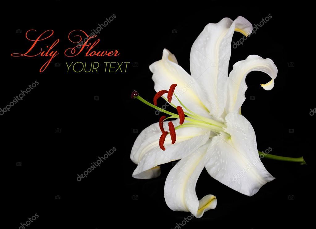 Fleur De Lys Blanc Sur Fond Noir Fond D Ecran Photographie Guzel