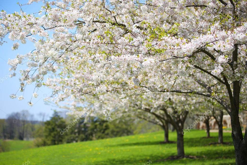 Baum mit weißen Frühling blüht der Kirsche im Garten. Sonnigen D ...