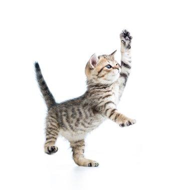Funny playful baby Scottish british kitten isolated on white bac