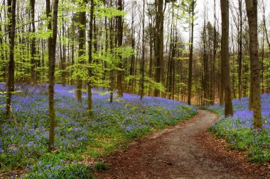 Curved path in a bluebell forest in springtime (Hallerbos woods in Belgium) stock vector