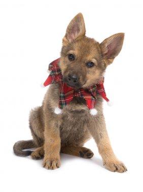 Christmas shepherd puppy