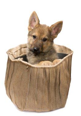 Shepherd puppy in a jute bag
