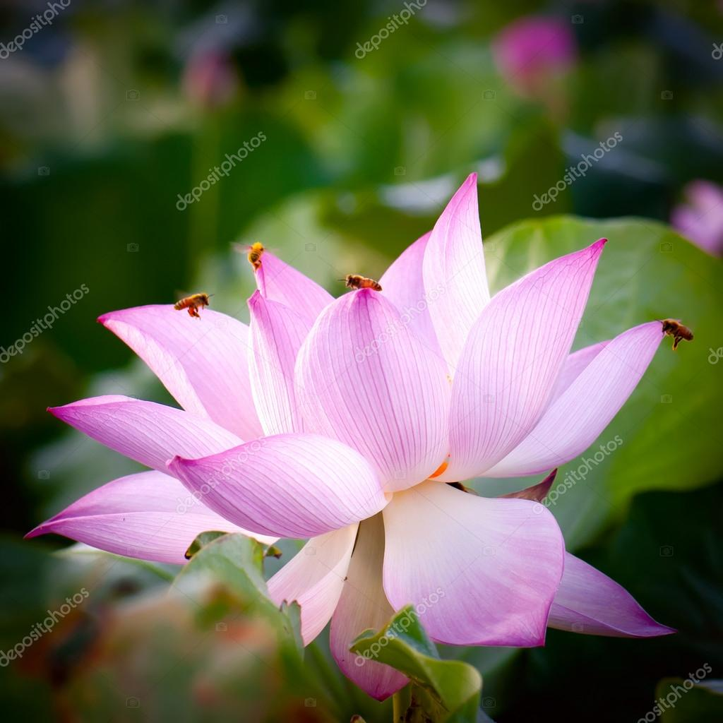 Lotus Flowerhindu Lotus Stock Photo Gyn9037 21269163