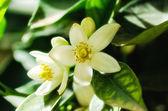 Fotografie Orange blossom