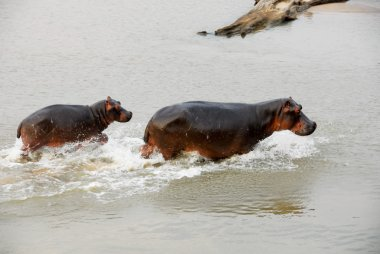 Hippos, North Lwanga National Park (Zambia)