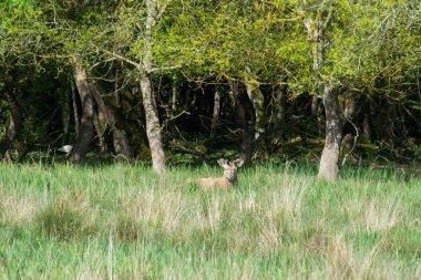 Deer at Salburua park, Vitoria(Spain)