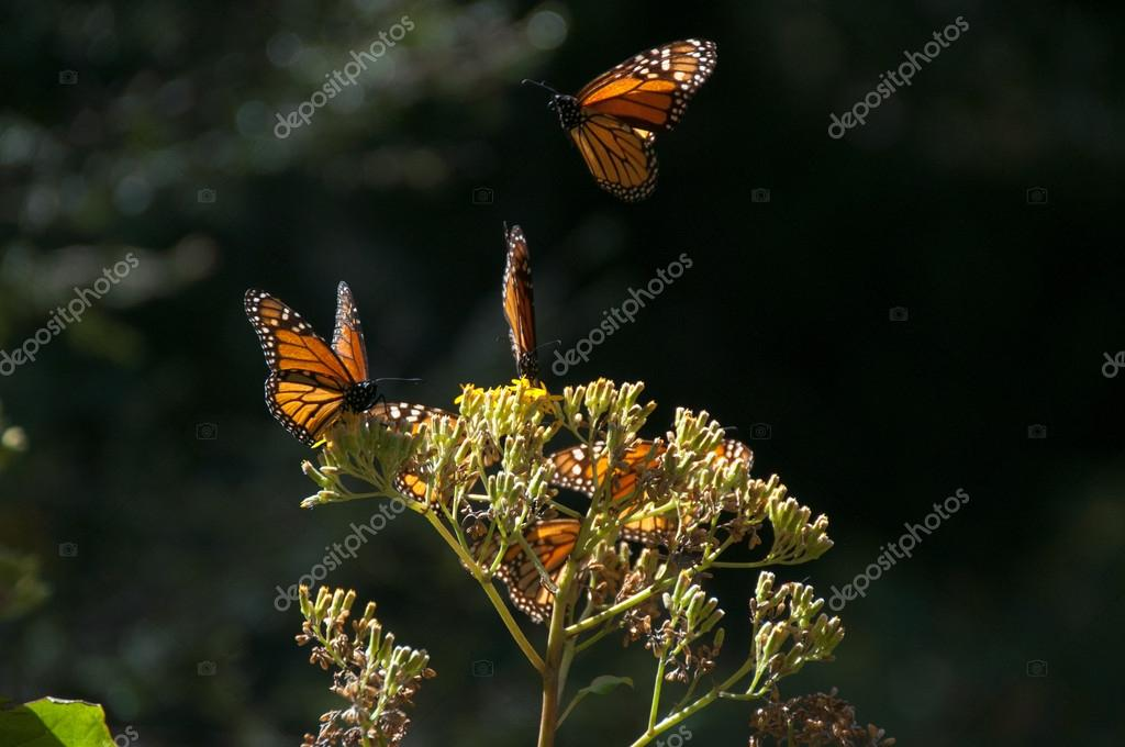 Monarch Butterfly Biosphere Reserve, Michoacan, Mexico