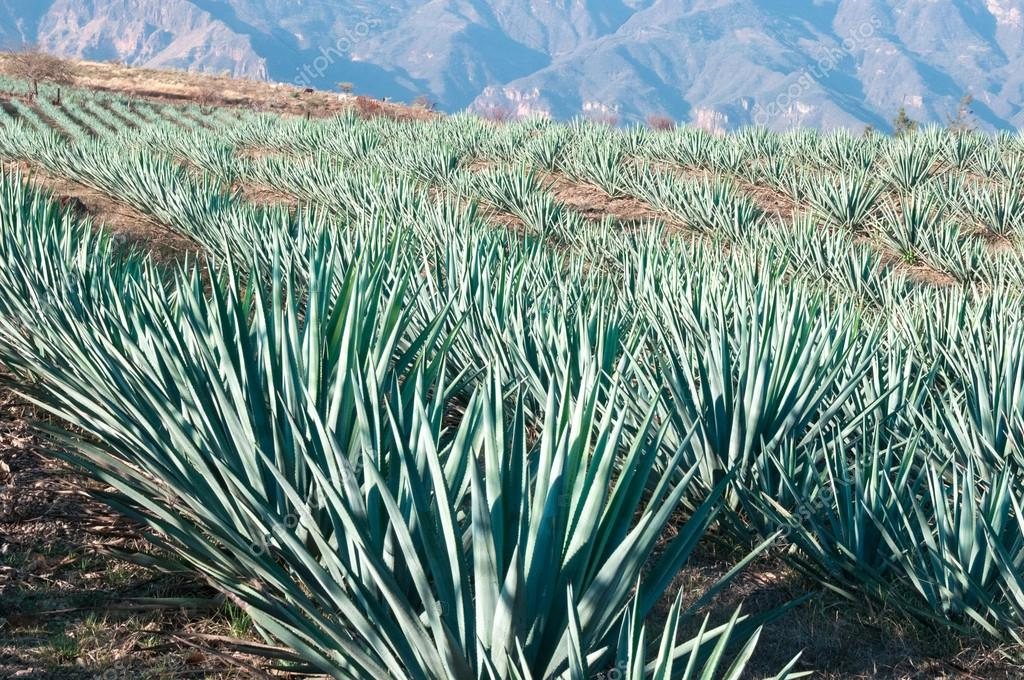 Agave fields in Tequila, Jalisco (Mexico)