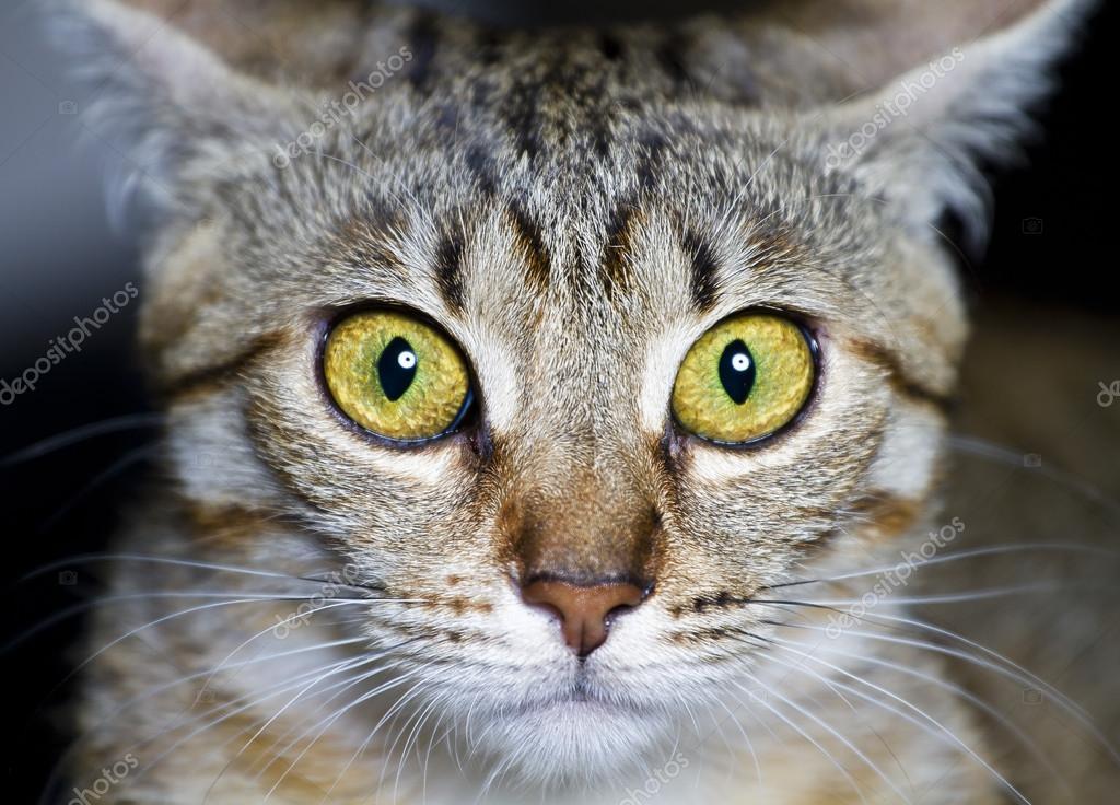 Gattino Gatto Di Razza Comune Con Occhi Spaventati Foto Stock