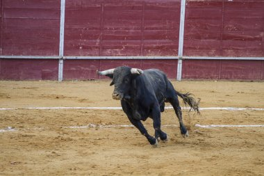 Jose Antonio Canales Rivera, Spanish bullfighter.