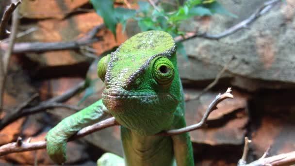 Chameleon na větev