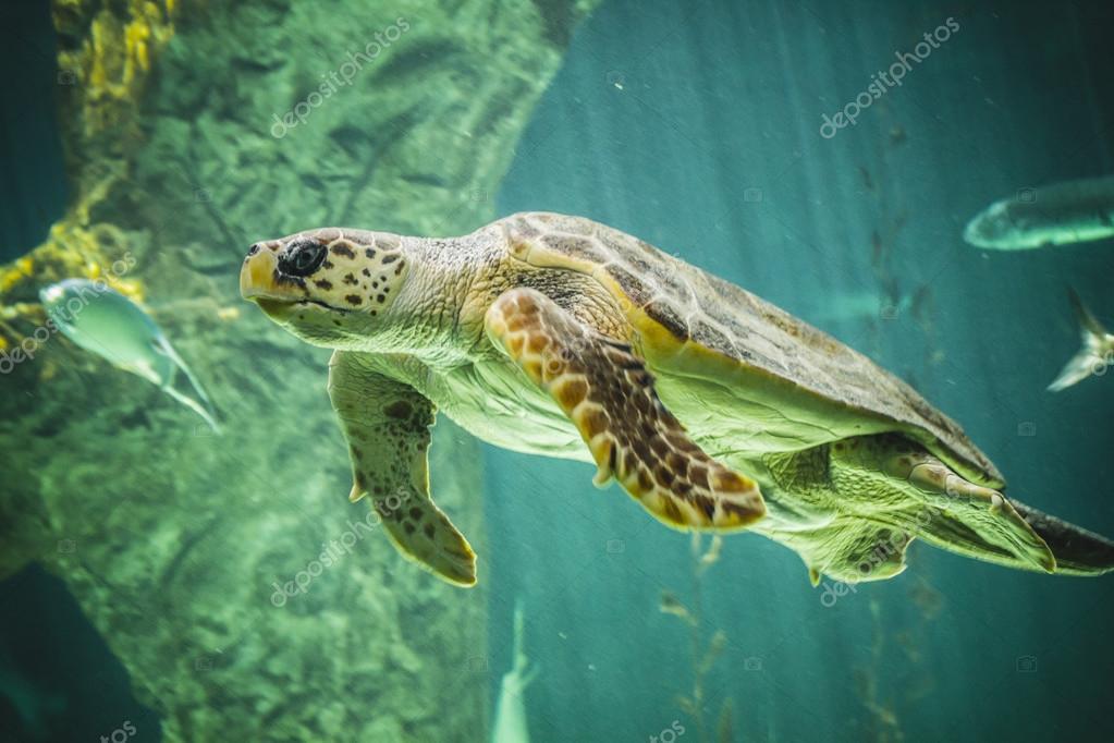 Huge turtle swimming