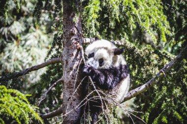 Breeding panda bear