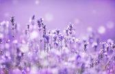Fotografie Lavender field