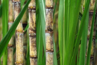 Close up of sugarcane plant