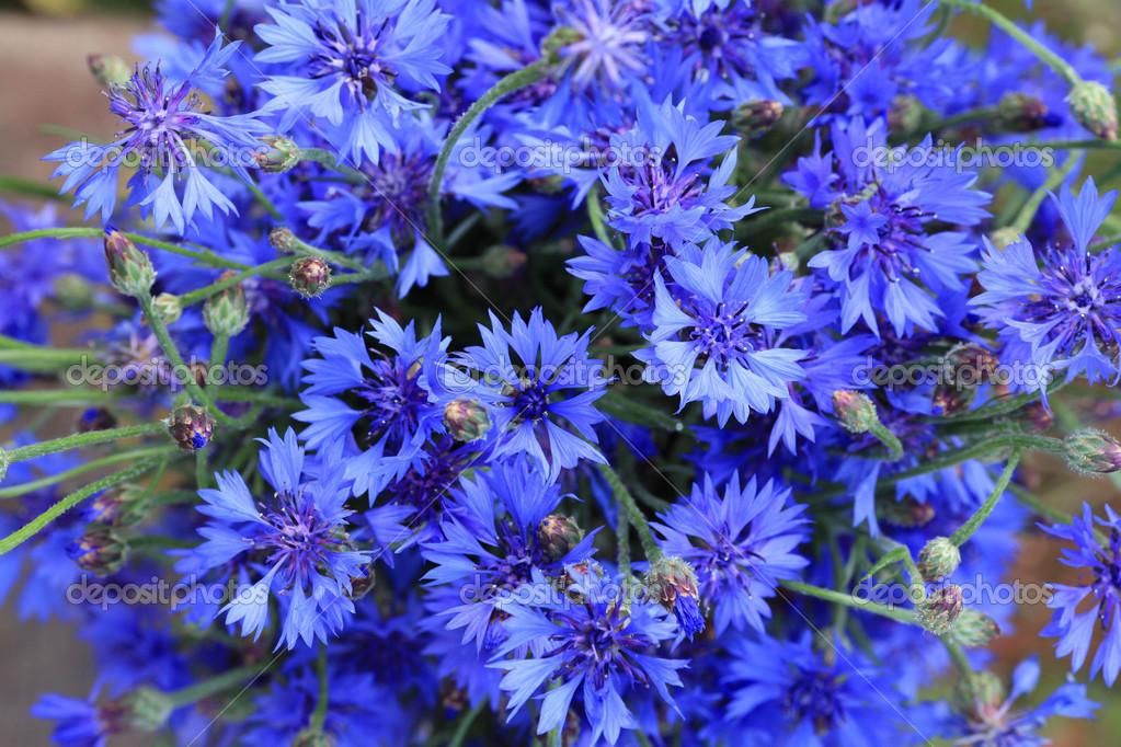 Cornflower Blue Flowers Macro Stock Image