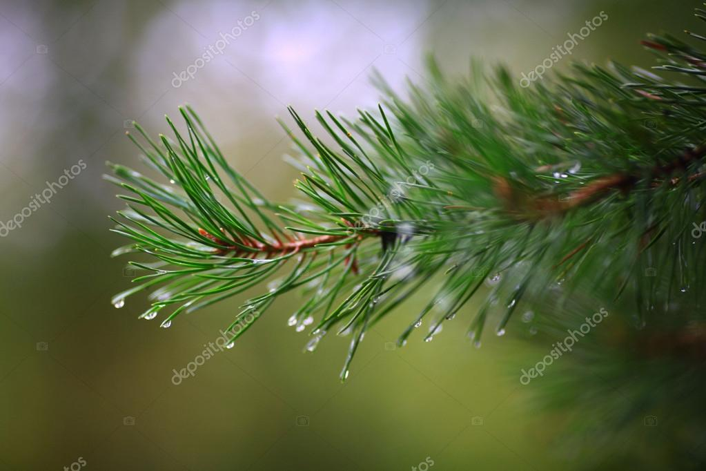 Green branches of a fur-tree or pine with rain drops