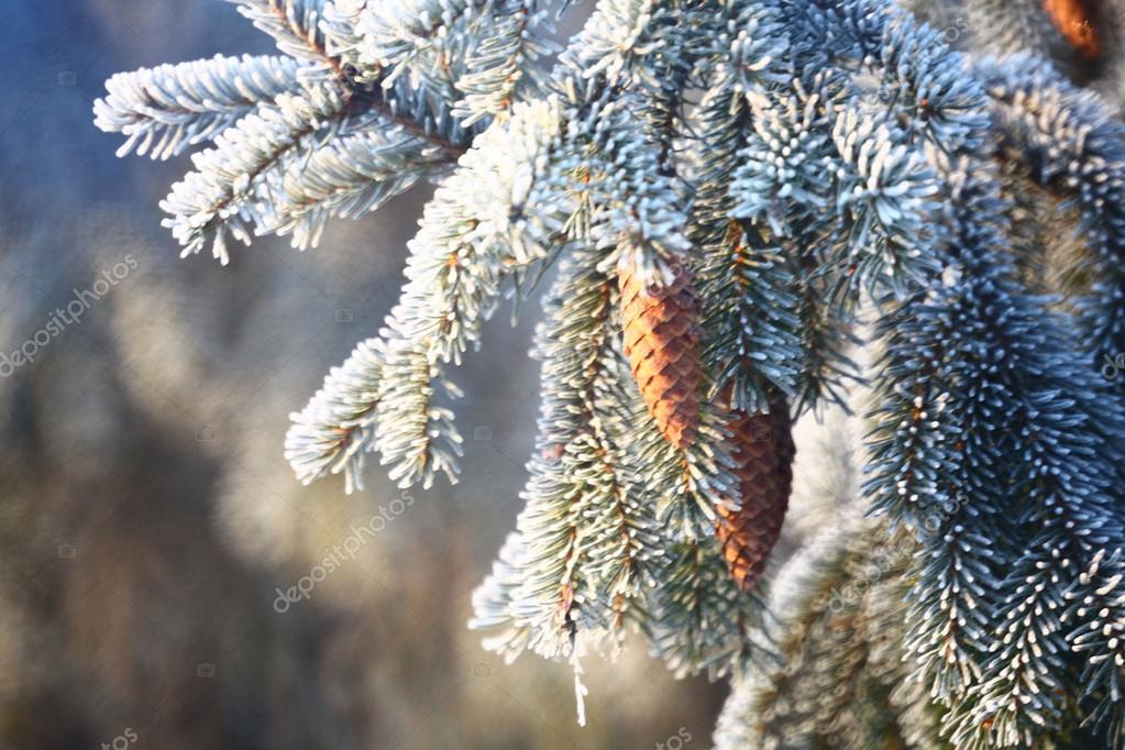 Spruce branches with cones covered with snow, Christmas background