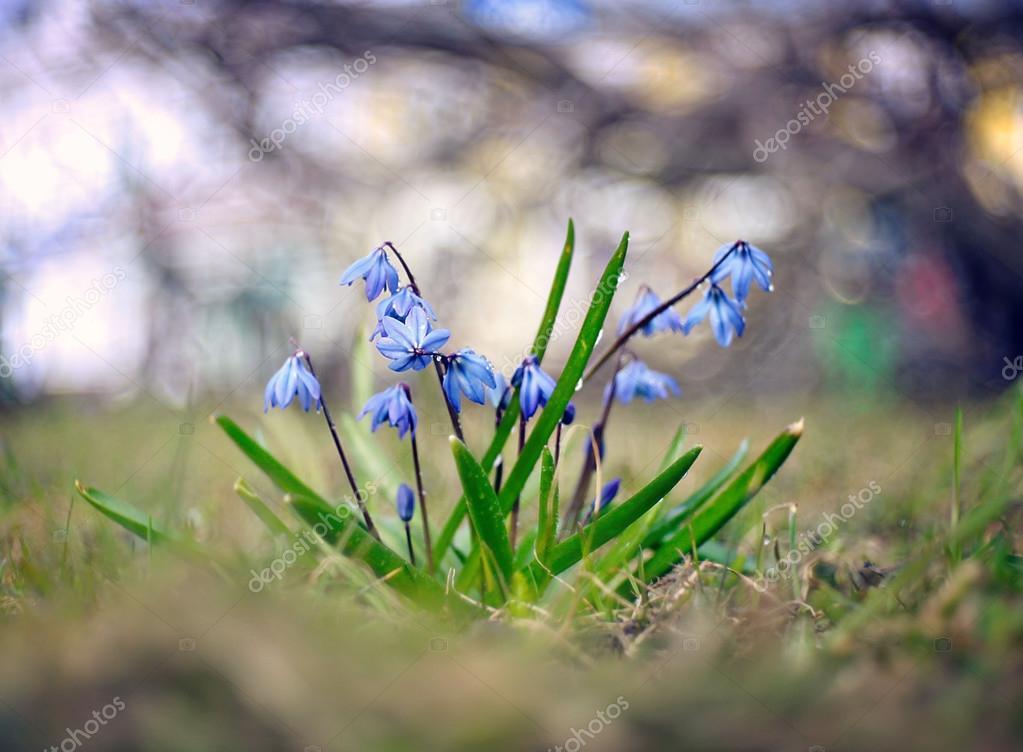 Petites Fleurs De Perce Neige Bleu Photographie Xload C 28270715