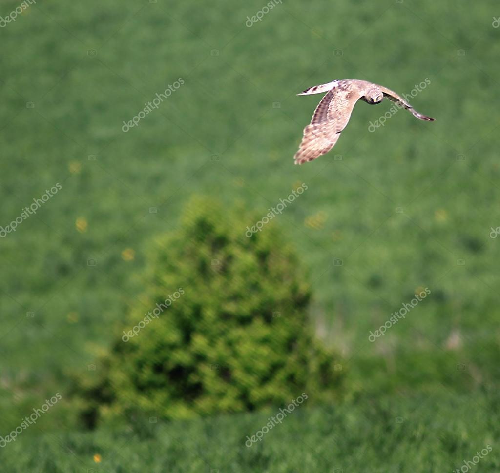Bird of prey over the field