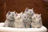 Fotografie cute gray British kittens