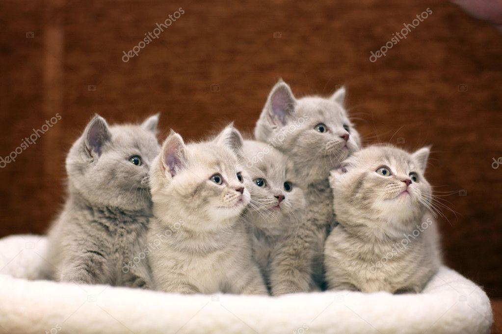 cute gray British kittens