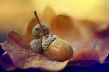 Autumn leaves oak acorns
