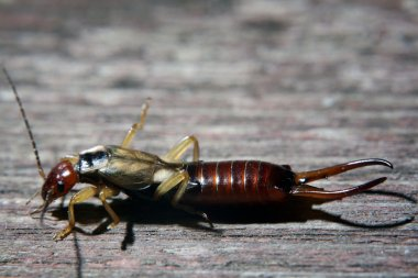 Insect earwig