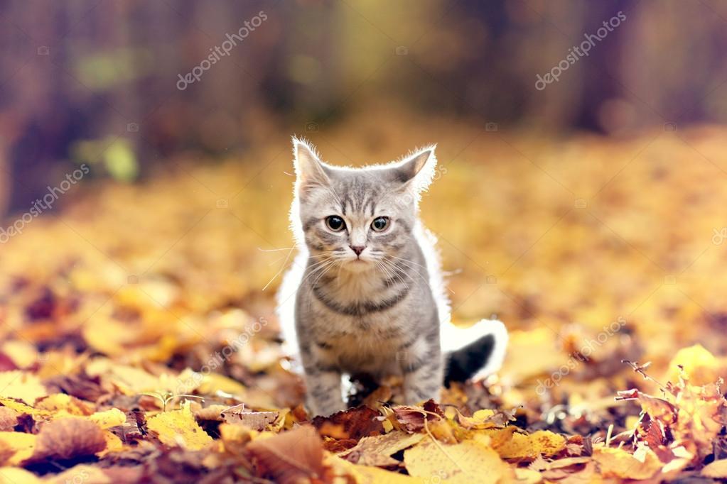 British kitten in autumn park
