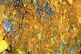 Fotografie podzimní větve s listy, žluté